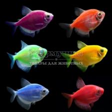 Glofish рыбка