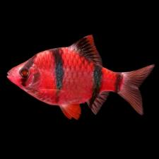 Барбус Суматранский GloFish (морковка)
