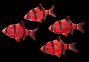 Барбус Суматранский GloFish