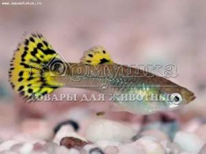 Гуппи леопардовая (самка)
