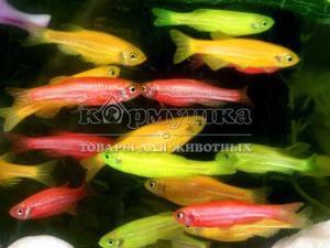 Данио разноцветные