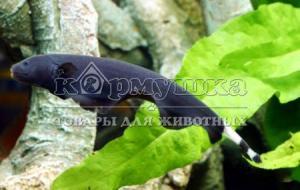 Аптеронотус белолобый