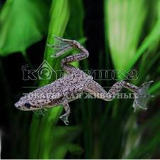 Гименохирус (лягушка)