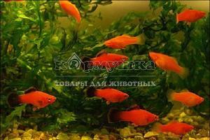 Рыбка меценосец