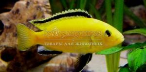 желтые малавийские цихлиды